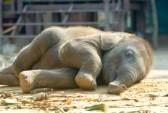 7963748-relax-calf-thai-elephant-ayutthaya-thailand