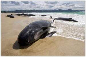 Strandet hval