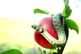 10525295-snake-on-a-red-apple